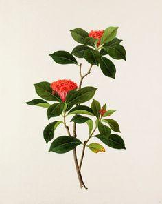 Ixora chinensis -- Illustrations -- Flowers -- RHS Prints