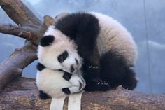 Two Cute Panda Cubs