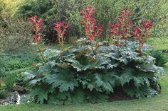REMEDY OF THE DAY: RHEUM PALMATUM Hahnemann's provings confirm that the homeopathic rhubarb is indicated during dentition, as well as to pregnant and nursing women Big Leaf Plants, Bog Plants, Types Of Plants, Garden Plants, Herbaceous Perennials, Hardy Perennials, Bog Garden, Shade Garden, Humus Soil