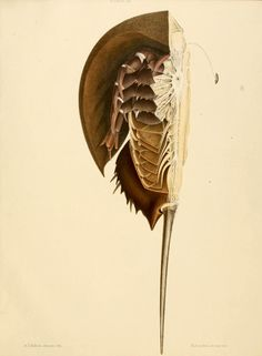 The Atlantic horseshoe crab, Limulus polyphemus From: 'Anatomy of the king crab (Limulus polyphemus, Latr.)' by Richard Owen. Science Illustration, Nature Illustration, Crab Tattoo, Natural Form Art, Horseshoe Crab, Historia Natural, In Natura, Ocean Creatures, Science Fiction Art