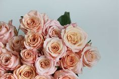 Rose Shimmer is another very pretty, large, greenhouse rose with the hint of the garden rose look and fascinating blend of colours. Its flowers come in a pink-peachy colour with a hint of yellow in the centre. Such colour combination produces glow like effect, almost as if the rose shines with a soft tremulous light. …
