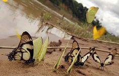 Butterflies in the Tambopata photographed by Jeff Cremer from a Refugio Amazonas Lodge tour near Puerto Maldonado, south Peru.  http://tourthetropics.com/south-america/amazon-rainforest/peru/puerto-maldonado/tours/refugio-amazonas-lodge  #travel #tours #amazonrainforest #entomology #insects #nature #wildlifebehaviour #zoology