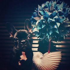 Asia, lady Gaga's bulledog