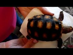 I'm calling this Redfoot Tortoise number Born December so a three year old. An Redfoot as my adult breeding pair are captive bred, not wild caugh. Three Year Olds, Tortoises, December, Parents, Puppies, Number, Healthy, Dads, Turtles