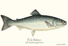 Sustainability- Pink Salmon sustainable fish illustration - Giclee Art Print, by Artist Brenda Guild Gillespie, $19.95