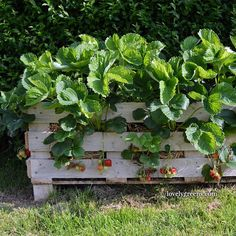 How to fill a DIY Strawberry Pallet Planter with up to 20 plants.