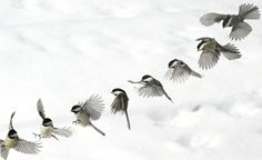 birds art - 18 Cool Sequence Photography Examples Web & Graphic Design on Chickadee Tattoo, Sequence Photography, Flying Photography, School Photography, Black Bird Tattoo, Tattoo Bird, Tattoo Wings, Lace Tattoo, Feather Tattoos