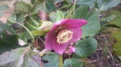 Red Hellebore also doing well.