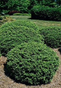 Soft Touch Compact Holly - Monrovia - A dense soft-textured evergreen shrub with soft, glossy green leaves that have an interesting silver midvein.   Dense, round shrub; moderate growth 2 to 3 feet tall and wide.