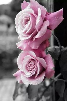 Pink roses | black and white background