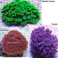 Flower Pot Coral always had luck with these guys! never saw them in purple Mod flow Moderate lighting  middle to top placement