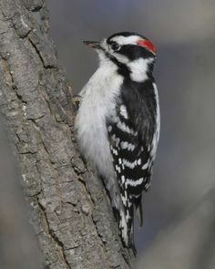 Downy woodpecker - I've seen these in our backyard trees.  They look just like the hairy woodpecker, only smaller.