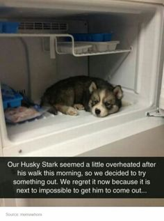 Dogs huskies