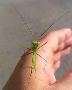 2017 Augusztus/ August- Magyarország- Hungary/Budapest- Imádkozó sáska(Ájtatos Manó)- Praying Mantis #sáska #insecta #insectagram #hungary #hungarian #mylife #macro #colorful #natural #august #beautiful #awesome #myphoto #budapest #mutimitcsinalsz #wonderful #amazing #animal #káposztásmegyer #mypic #small #nice #super #macroworld #macrophotography #naturalphotografy #prayingmantis #mantis #blattidae…