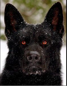 Argo, a beautiful black German Shepherd.  www.protectiondogsplus.com