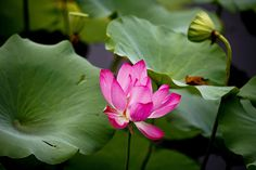 Beijing, China: A pink lotus flower on a pond at the old Summer Palace