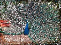 Peacock @Batu Secret Zoo
