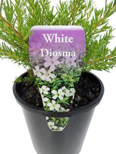 White Diosma 14cm | Gardenworld Nursery