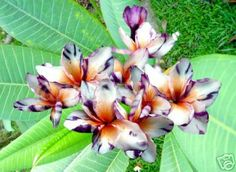 """Package of 5 <span style=""""font-weight: bold; font-style: italic; color: rgb(0, 0, 0);"""">Splash White Lavender</span> Plumeria/Frangipani seeds.<br /> <br />"""