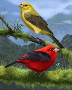 Scarlet Tanager - Whatbird.com