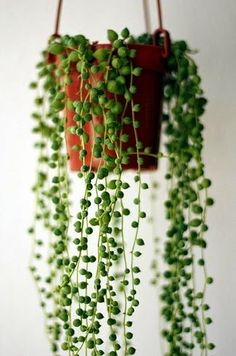 Once the  string of pearls grow out you can use them to create your own hanging garden at home. The plant will need to be grown in room temperature conditions during its initial maturation, but should be switched to a cooler setting during dormancy.