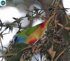 https://www.facebook.com/WonderBirds-171150349611448/ Sẻ vẹt đuôi nhọn; Họ chim Di-Estrildidae; Đông Nam Á || Pin-tailed parrotfinch (Erythrura prasina) IUCN Red List of Threatened Species 3.1 : Least Concern (LC)(Loài ít quan tâm)