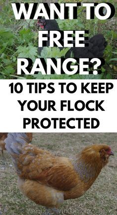 In this article, you will learn why we choose to free range our chickens and 10 Ways to keep your hens protected when you free range. via @tasiaboland