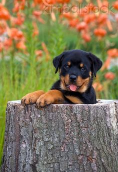 Rottweiler Puppy Peeking Out Of Hollow Stump By Flowers