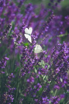 Have a great day and thank you for visiting! All The Small Things, Lavander, Have A Great Day, Plants, Have A Happy Day, Plant, Planting, Planets