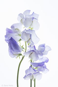 Purple Sweet Peas by Ilene Hertz - Photo 154344133 / Watercolor Drawing, Watercolor Flowers, Watercolor Paintings, Watercolours, Sweet Pea Flowers, Beautiful Flowers, Botanical Art, Botanical Illustration, Flower Images
