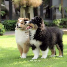 Sheltie Sunday, Shetland Sheepdogs Photos) Shelties are a very loving and super smart breed they super cute! Hope you have a happy Sheltie Sunday Animals And Pets, Baby Animals, Cute Animals, Cute Puppies, Dogs And Puppies, Maltese Puppies, Shetland Sheepdog Puppies, Collie Dog, Mini Collie
