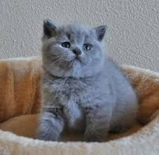 Image Result For British Shorthair Cats British Shorthair Kittens British Shorthair Cats Cat Species