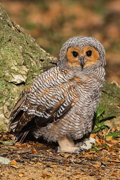 Cutie! (Spotted Wood Owl - Juvenile) by Jon Chua on 500px