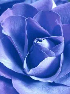 Periwinkle rose by VoyageVisuel Orange Pastel, Iris, Periwinkle Color, Color Blue, Malva, Lavender Blue, Lilac, Himmelblau, Blue Aesthetic