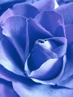 Periwinkle Rose