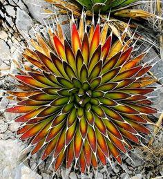 Succulent - Agave Pe