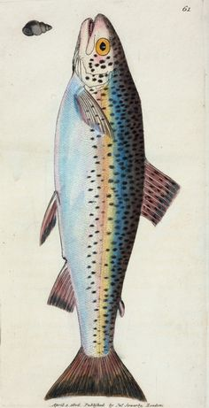 Illustration of a gillaroo trout, circa from a book by naturalist-artist James Sowerby courtesy of the New York Public Library. Fun fact: The gillaroo prefers to snack on snails. Illustration Botanique, Watercolor Fish, Caran D'ache, Wood Fish, Fish Illustration, Fish Drawings, Kunst Poster, Rainbow Trout, Rainbow Star