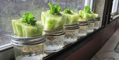 Re-growing Lettuce It?s not a hard concept. Stick the crown end in water after you& cut off all the lettuce. I figured I ?d give it a shot and I have to say, so far I have been amazed.ll see what happens going forward. Growing Vegetables, Growing Plants, Regrow Vegetables, Organic Gardening, Gardening Tips, Organic Farming, Growing Lettuce, Aquaponics System, Edible Garden