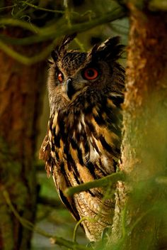 Great Horned Owl -- my favorite species of owl. I have one that hangs out in the tree in my backyard. I'll hoot at him, and he'll hoot back (: