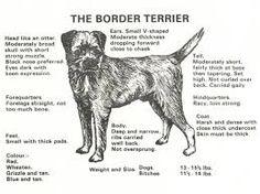 border terrier breed standard uk - Google Search