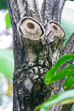 I think we have a tree we can do this with! Treemuppet Muppet in a beautiful botanical garden. By lexillustrator John Muir, Things With Faces, Weird Trees, Tree People, Tree Faces, Tree Carving, Wtf Face, Unique Trees, Strange Places