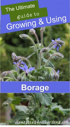 The Ultimate Guide to Growing & Using Borage (including some delicious borage recipes!)