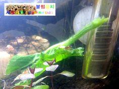 my shrimp 스팟핀토 새우가 호박잎을 냠냠 하기는 중이네요.ㅋㅋ