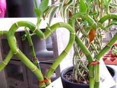 Bambu de la suerte Podemos ubicarlaen un jarrón de cristalpara que se aprecie mejor y meter dentro del mismoagua, piedrecitasy amarrarle un liston rojo con una moneda.