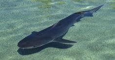 Qué necesitan los tiburones tigre para sobrevivir. Los tiburones tigre están entre los animales más fieros en el mar. Crecen hasta 20 pies (6 m) de largo, y son depredadores rápidos y ágiles con dientes increíblemente afilados. Los tiburones tigre son llamados así debido a las marcas de rayas en sus laterales y partes traseras. Para que un tiburón tigre crezca sano y fuerte, necesitan varias cosas ...