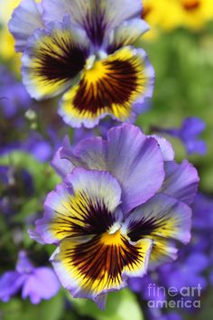 Frilled Pedal Pansies