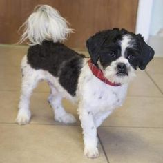 Pictures of Jimmy Chew a Shih Tzu for adoption in Bedford, IN who needs a loving home.
