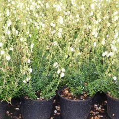 Ierse hei wit (Daboecia cantabrica Alba') 15/20cm