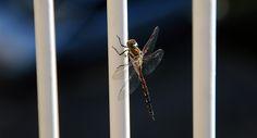 Dragonfly by Remy Bergsma on 500px