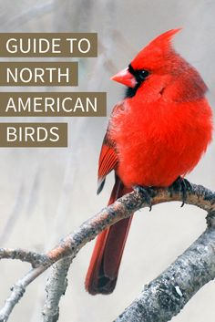 Use Audubon's online Guide to North American Birds to learn more about your favorite feathered friends.   Northern Cardinal. Photo: Jim Rains/Great Backyard Bird Count